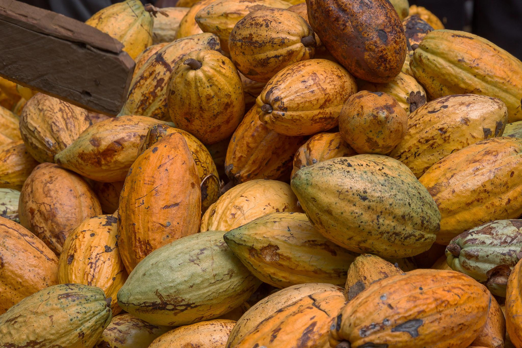 Amelonado - charakteristická odrůda s vysokým výnosem